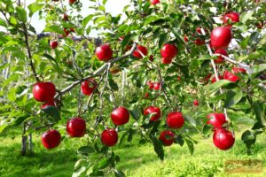 Apple ลูกสีแดงสด ว้าววว