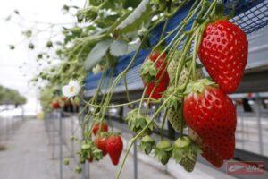 Strawberry สดๆ น่าเด็ดทานมากๆ
